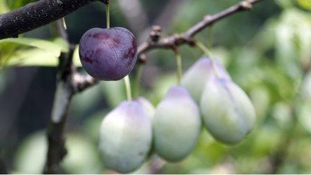 atgriešanās augļi