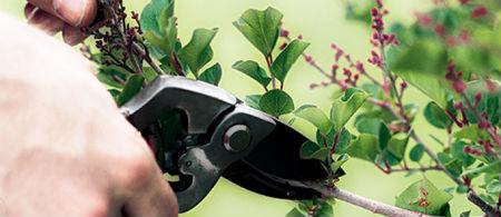 dārznieks iztīra zarus
